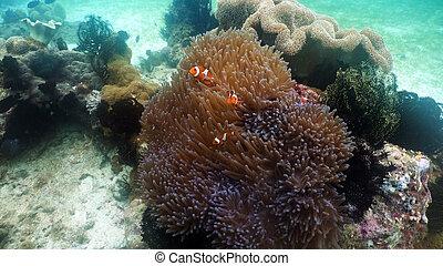 anemonefish, clownfish, anemone.