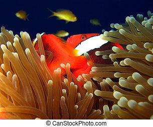 anemonefish, filipinas, panglao, bridled, pamilacan