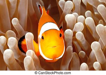 anemonefish, payaso