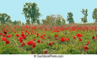 anemones, поле, красный