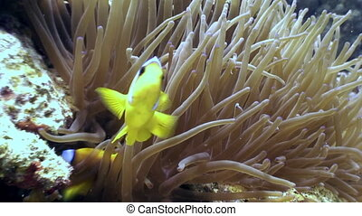 Anemones and clown fish underwater in Red sea.
