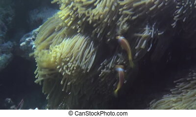 Anemones and multicolored clown fish in the stream. Amazing, beautiful underwater marine life world of sea creatures in Maldives. Scuba diving and tourism.