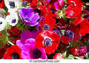 Anemones - Anemone coronaria - Red, white, purple, and pink...