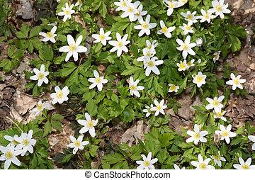 Anemones - Beautiful anemones blooming in the forest floor