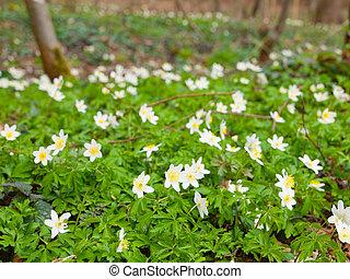 anemones, bianco, legno