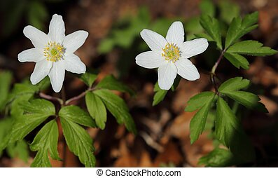 Anemones nemorosa blooming in the forest. Spring flowers.