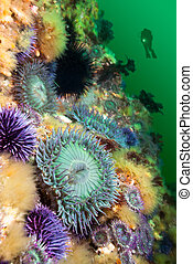 Anemones on reef - A scuba diver hoovers near a colorful...