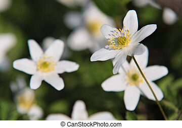 anemones - close up with anemones