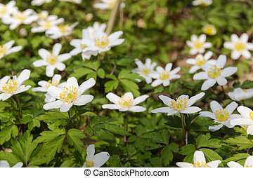 Anemones - Wild anemones blooming in the early spring time