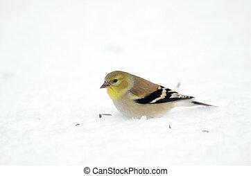anerican, goldfinch, sneeuw