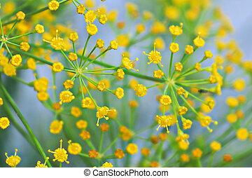 aneth, anthère, doux, fond, fleur, macro, foyer