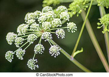 angélica, sylvestris, planta medicinal
