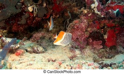 Angel butterfly fish on background of clear seabed underwater of Maldives.