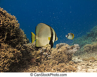 Angel Fish on Great Barrier Reef Australia