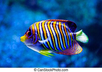 Angel fish. (Pygoplites diacanthus)