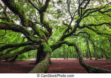 Angel Oak Tree at Johns Island, South Carolina