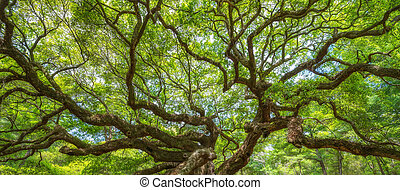 Angel Oak Tree Branches Panorama in South Carolina