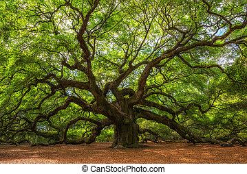 The large and iconic Angel Oak Tree at Johns Island, South Carolina.