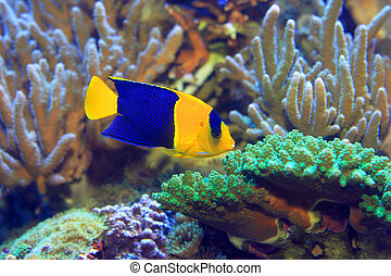angelfish, bicolor