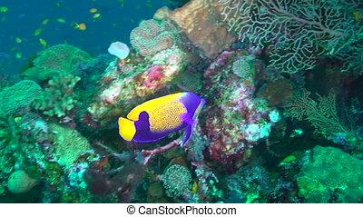Angelfish - Blue girdled angelfish, Pomacanthus navarchus,...