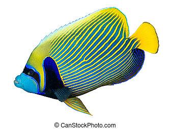 angelfish del emperador