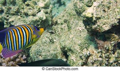 angelfish, in het rood, zee