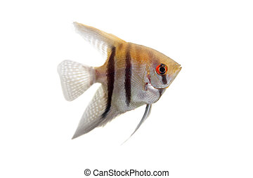 Angelfish in profile on white - Angelfish, Pterophyllum ...