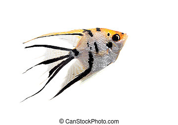 Angelfish in profile on white - Angelfish, Pterophyllum...