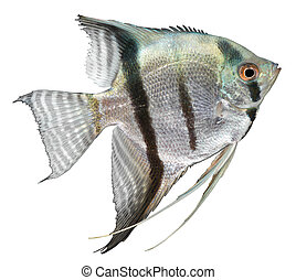 angelfish, plata