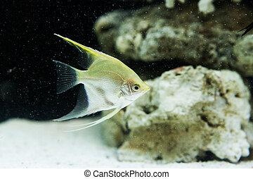 Angelfish (Pterophyllum scalare) in the fish tank