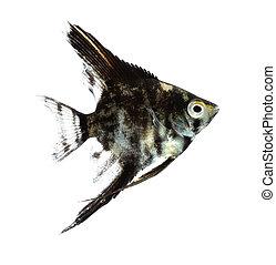 Angelfish (Pterophyllum scalare) isolated on white ...
