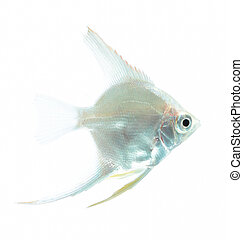 Angelfish (Pterophyllum scalare) is