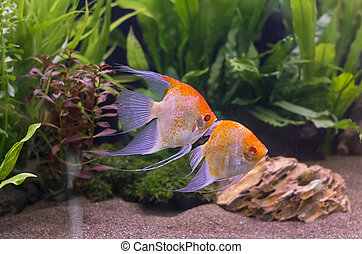 Angelfish swimming in aquarium tank.