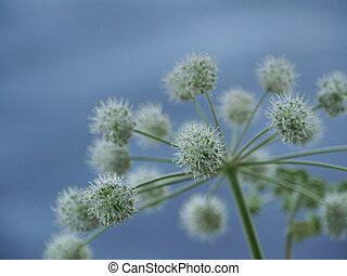 Angelica inflorescence of flowers close to