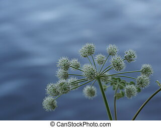 Angelica of flowers close to