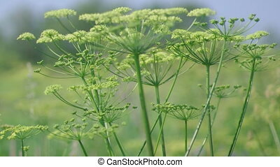 Angelica plan. Close-up