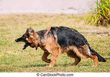Anger Aggressive Long-Haired German Shepherd Adult Dog, Alsatian
