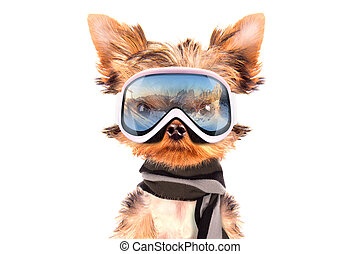 angezogene , hund, skier