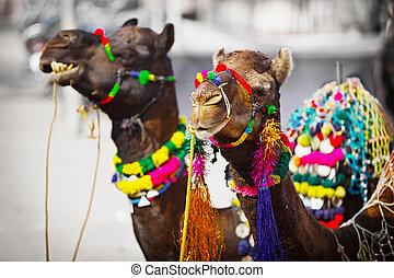 angezogene , indien, auf, zwei, kamele, pushkar, fair.