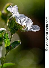 anglaise, fleurir, cistus, decumbens), (lucitanica, jardin