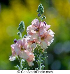 anglaise, incana, jardin, matthiola, fleurir