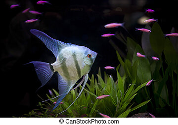 angle fish  in aquarium