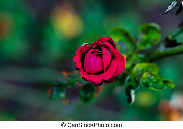 angle shot close up of beautiful red rose spotted in the garden. valentine's day concept