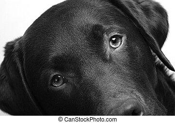 Angled Labrador Head - Shot of a labrador retrievers head at...