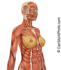 Angled view of the upper body of the female muscular anatomy.