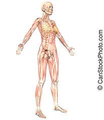 angolato, semi, muscolare, anatomia, femmina, fronte, trasparente, vista