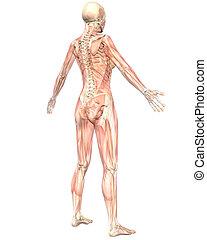 angolato, semi, muscolare, anatomia, femmina, trasparente, vista posteriore