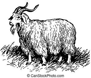 angora のヤギ