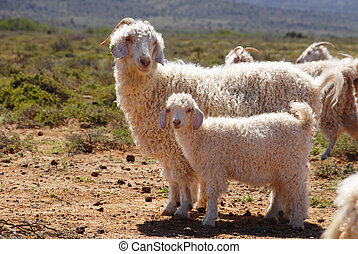 Angora goat mother with her kid separate from the herd
