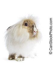 angora lion head rabbit on white